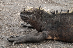 Profile of a marine iguana. Stock Photos
