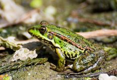 Profile of marsh green frog sitting in the water Royalty Free Stock Photo