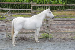 Profile of Mature White Gelding. Full profile of a mature white Gelding standing in his corral Royalty Free Stock Photography