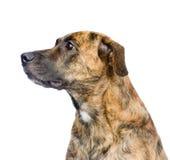 Profile mixed breed dog. isolated on white background Royalty Free Stock Image