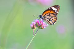 Butterfly on flowers. Profile of Monarch butterfly feeding from flowers royalty free stock images
