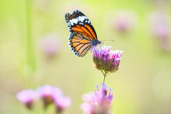 Butterfly on flowers. Profile of Monarch butterfly feeding from flowers stock images