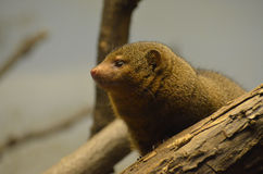 Profile of a Mongoose Peering out of a Fallen Log Royalty Free Stock Images