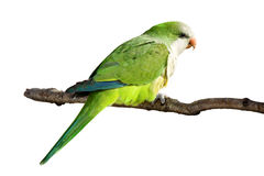 Profile of a monk parrot at rest. On a branch; white background stock photography