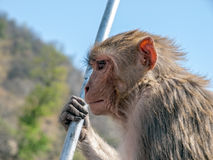 Profile of the monkey Royalty Free Stock Photography