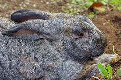 Profile of mottled rabbit Stock Photos