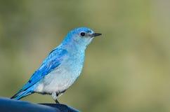 Profile of a Mountain Bluebird stock image