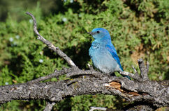 Profile of a Mountain Bluebird Royalty Free Stock Photo