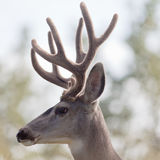 Profile of mule deer buck with velvet antler Stock Photography
