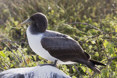 Profile of a nazca booby on a rock covered with guano. Royalty Free Stock Photo