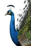 Profile Of Male Indian Peafowl Stock Photo