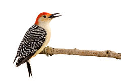 Profile Of Red-bellied Woodpecker With Beak Open Royalty Free Stock Photos