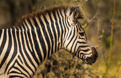 Profile of stripped zebra at dawn in Tanzania, Africa Royalty Free Stock Photo
