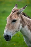 Profile of an Onager Stock Photos
