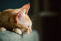 Profile of an orange cat resting Royalty Free Stock Image