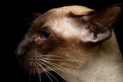 Profile Oriental Shorthair cat. Close-up portrait of  Oriental Shorthair cat Stock Photo