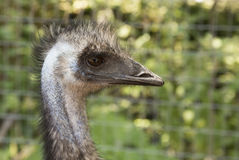 Profile of ostrich Stock Photo