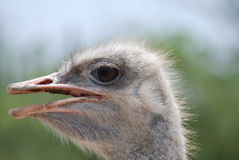 Profile of Ostrich with His Beak Open Royalty Free Stock Images