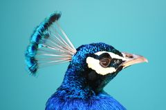 Profile of a Peacock Stock Image