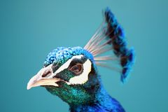 Profile of a Peacock Royalty Free Stock Photo