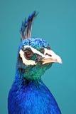Profile of a Peacock Stock Photos