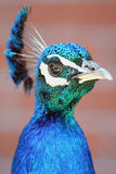 Profile of a Peacock Stock Photography