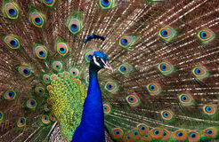 Profile of a peacock (Pavo cristatus).  Royalty Free Stock Photos