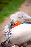 Profile of pelican. Pelican hides his beak in  the feathers Royalty Free Stock Images