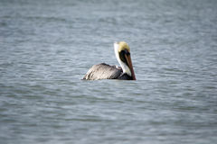 Profile of Pelican floating in the ocean Stock Photo