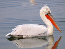 Profile of Pelican on lake. Profile of single pelican bird floating on lake royalty free stock photography