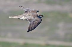 Profile of a Prairie Falcon In Flight stock photo