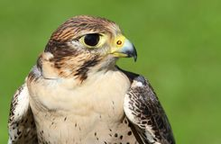 Profile of Peregrine Falcon with yellow beak Royalty Free Stock Image