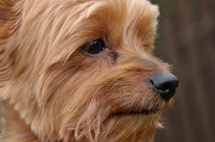 Profile picture of dog head. Close view Profile picture of the dog head Yorkshire terrier Stock Photo