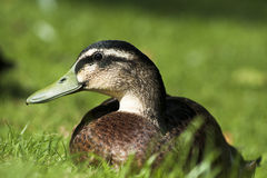 Wild Duck profile Stock Photos