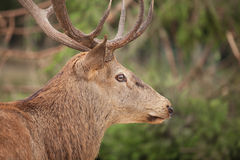 Profile picture of a stag in front of green Forest Royalty Free Stock Image