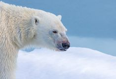 Profile of polar bear near Svalbard, Norway. In spring stock photography