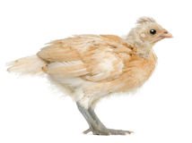 Profile of Polish Chicken, standing Royalty Free Stock Images