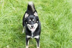 Dog - Pomsky. Profile of a pomsky - husky and Pomeranian cross breed. Black, white and tan in colour royalty free stock photography