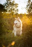Profile Portrait of adorable Beige and white Siberian Husky dog sitting in the forest at golden sunset in autumn. Profile Portrait of adorable Beige and white royalty free stock photo