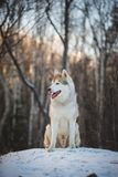 Profile Portrait of happy Siberian husky dog sitting on the hill on the snow in the winter forest at sunset. Profile Portrait of adorable and happy beige and stock photos