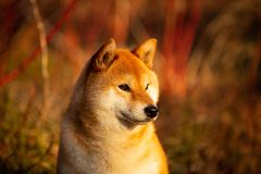 Profile portrait of adorable red shiba inu dog lying on the grass in the forest at golden sunset. Profile portraiit of adorable and happy shiba inu dog lying on stock photo