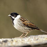A profile portrait of an adult male Reed Bunting (Emberiza schoeniclus). Stock Image