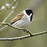 A profile portrait of an adult male Reed Bunting (Emberiza schoeniclus) perching openly on a tree branch. A close-up profile portrait of an adult male Reed Stock Photography