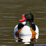 A profile portrait of an adult male Shelduck (Tadorna tadorna) swimming. Royalty Free Stock Photo
