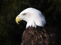 Profile portrait of an American Bald Eagle stock photos
