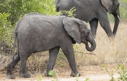 Profile portrait of baby elephant, Loxodonta Africana, walking with larger elephant in background. In South Africa stock photos