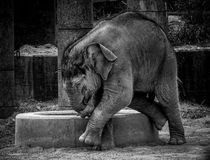 Baby elephant playing outdoors. Profile portrait of baby elephant playing in zoo enclosure in black and white stock photos