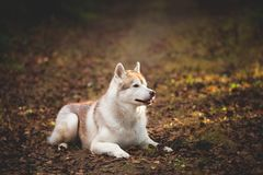 Profile Portrait of beautiful and attentive beige siberian Husky dog lying on the path in the dark autumn mysterious forest on the. Falling leaves stock image