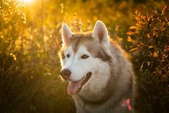 Profile Portrait of beautiful Beige and white Siberian Husky dog sitting in the forest at golden sunset in autumn. Profile Portrait of beautiful Beige and white royalty free stock photography