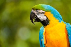 Profile portrait of a beautiful blue-yellow macaw. royalty free stock photos